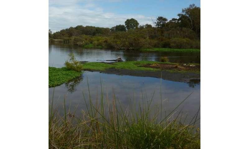 Leaf 'bait' uncovers dieback crossbreeds