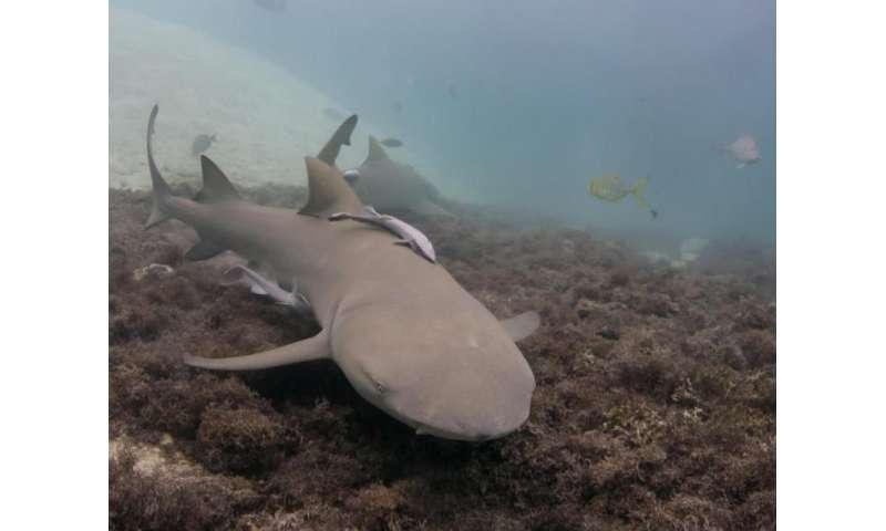 Lemon shark cruises waters near Australia's Heron Island