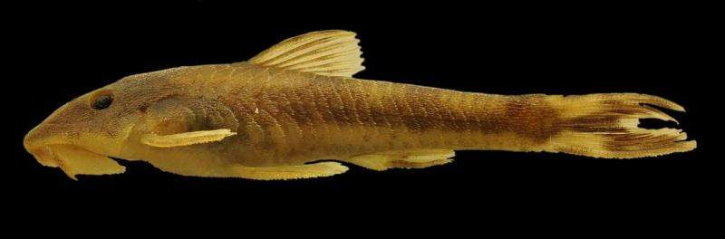 Long-snouted Amazonian catfishes including three new species to form a new genus