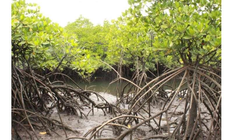 Mangroves of Australia's Hinchinbrook Island