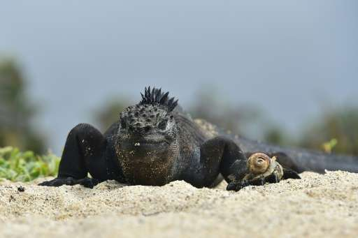 Marine iguanas, which live on land but get their food from the ocean, are found only on the Galapagos Islands