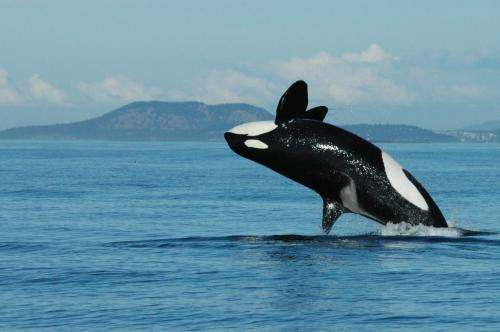 Menopausal whales are influential and informative leaders