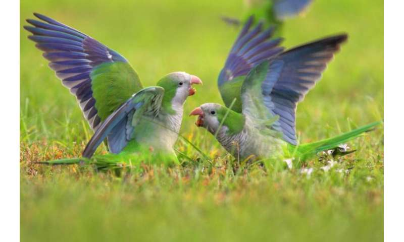 Mental math helps monk parakeets find their place in pecking