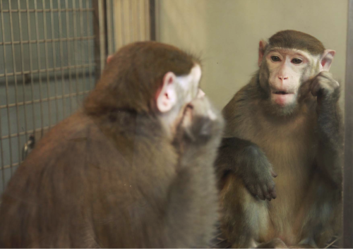 Monkeys can learn to see themselves in the mirror