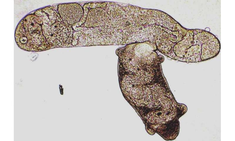 Parasitic flatworms flout global biodiversity patterns