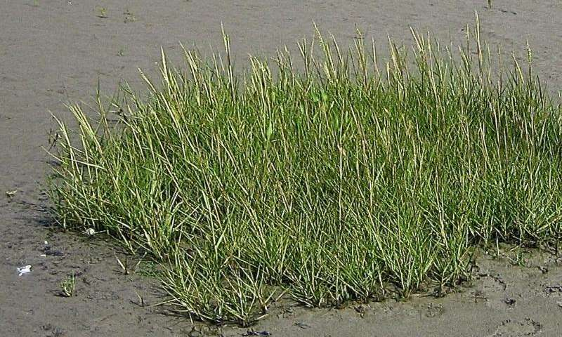 Planting in clumps boosts wetland restoration success