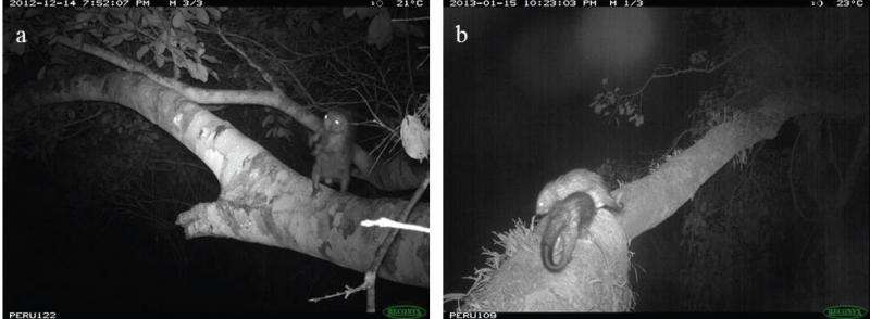 Porcupines can't jump: Camera traps in the forest canopy reveal dwarf porcupine behavior