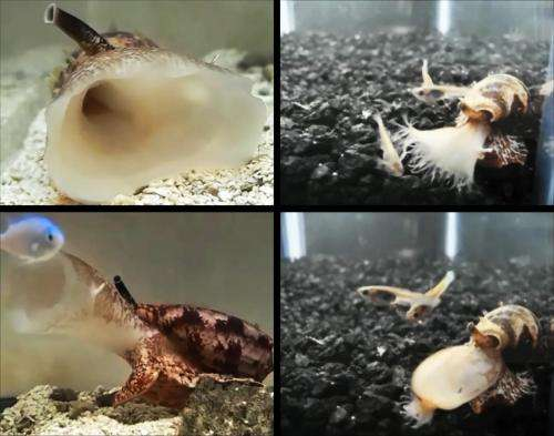 Predatory sea snails produce weaponized insulin