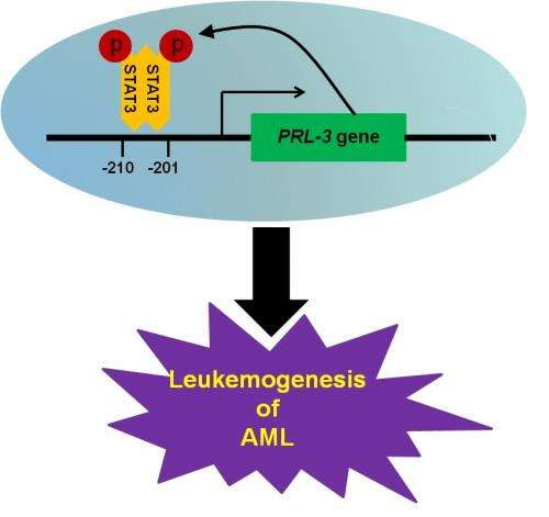 Researchers discover new therapeutic target for treatment of acute myeloid leukaemia