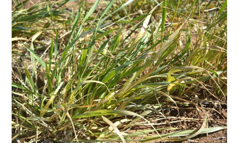 Research seeks early detection of wheat streak mosaic virus