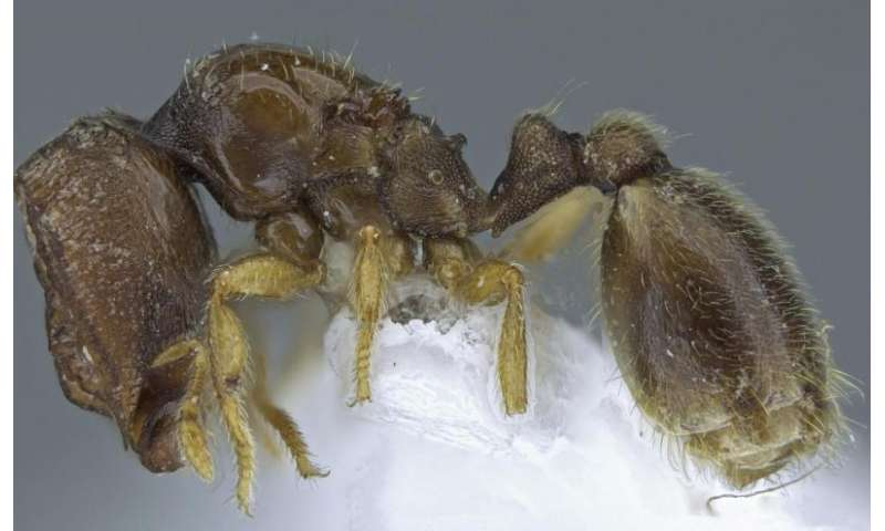 Saucer-like shields protect 2 new 'door head' ant species from Africa and their nests