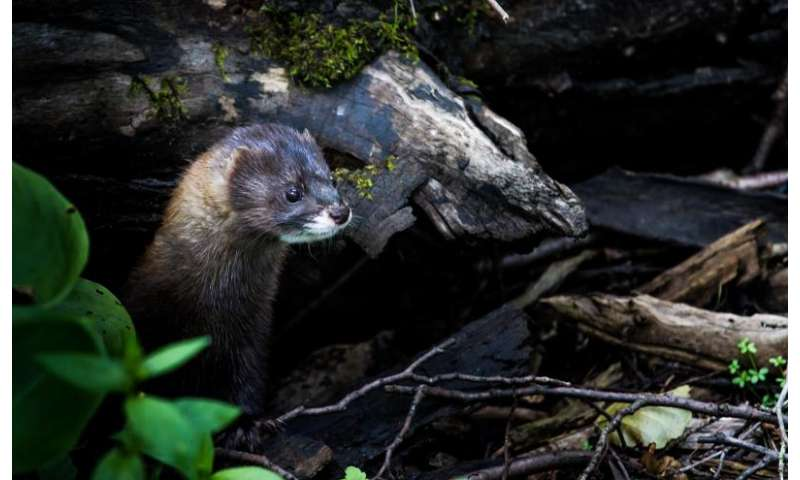 Scientists optimize breeding management for European minks