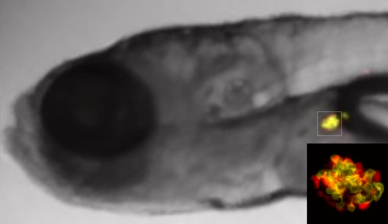 Scientists report success using zebrafish embryos to identify potential new diabetes drugs