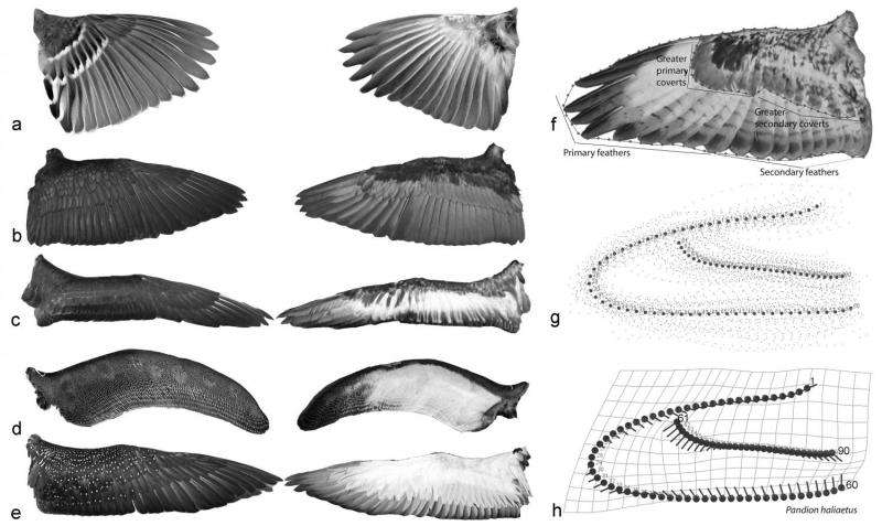 Shape of bird wings depends on ancestors more than flight style