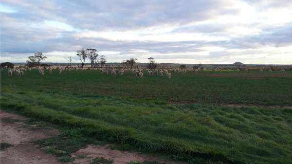 Sheep benefit from grazing spring crops