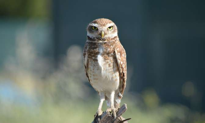 Small rural owl fearlessly colonizes the city
