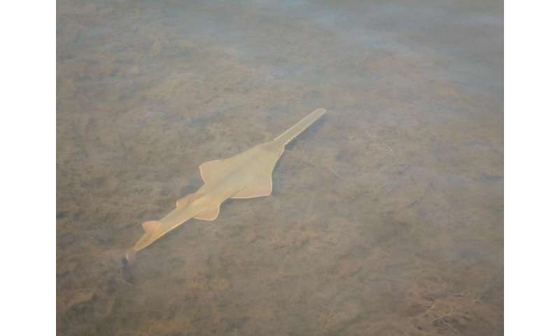 Some endangered sawfishes are having babies, no sex required