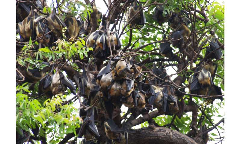 Straw-colored fruit bats: Ecosystem service providers and record-breaking flyers