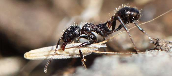 Study finds more tunnels in ant nests means more food for colony