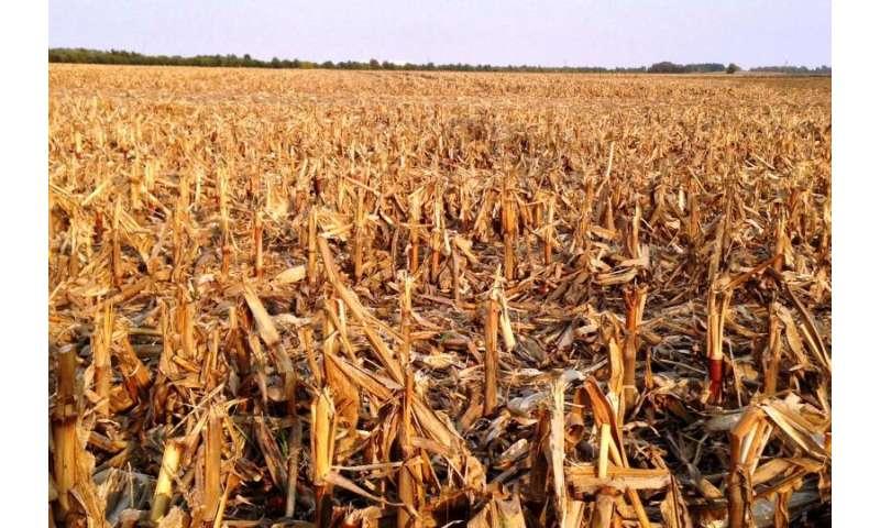 Estudio muestra potencial de crecimiento de biocombustibles a partir del rastrojo de maíz