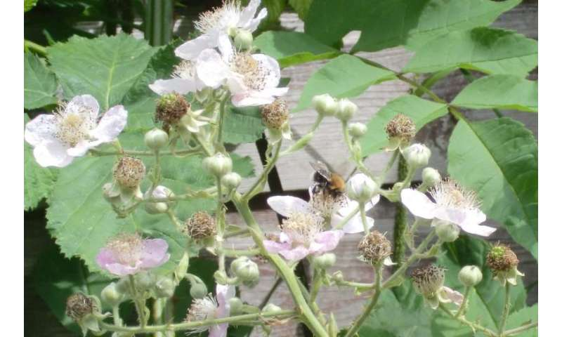 Summer fruits depend on pollinators, but where have all the bees gone?
