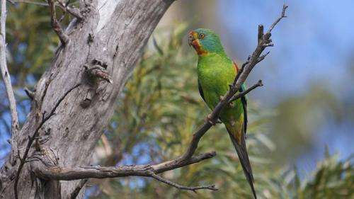 Tasmania's swift parrot now facing population collapse