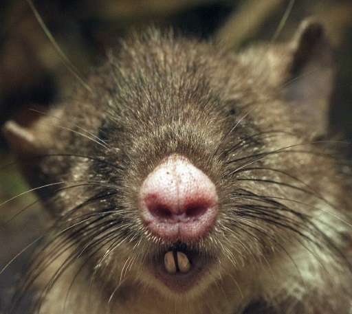 The hog-nosed rat pictured in a photograph released by Australia's Museum Victoria on October 6, 2015