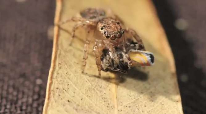 The spectacular peacock spider dance and its strange evolutionary roots