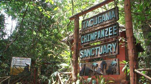 The Tacugama Chimpanzee Sanctuary was set up to rescue chimpanzees whose families had been stolen for the pet trade or wiped out
