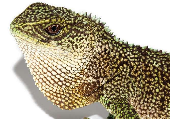 Three new species of 'mini-Godzilla' found in Andes
