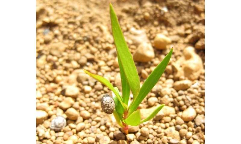Uncooperative snottygobble coughs up germination secrets
