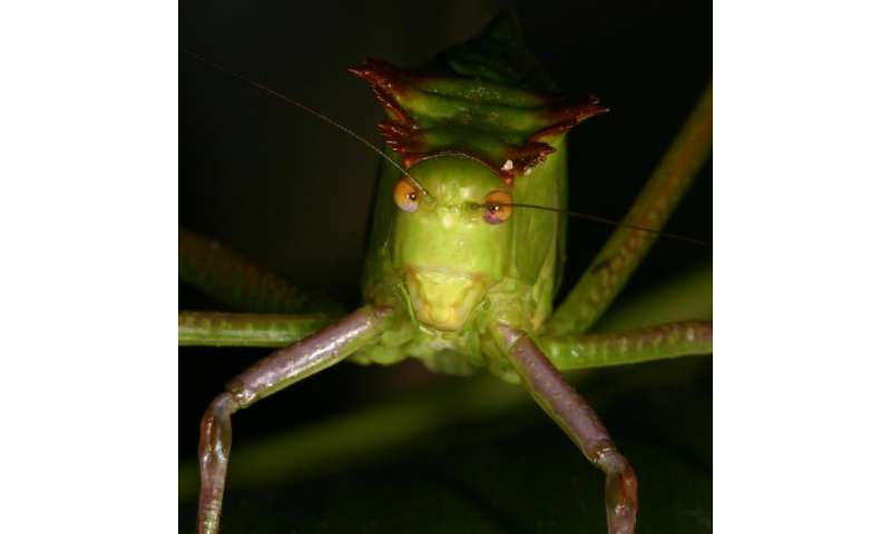 What's love got to do with it? A lot for eavesdropping bats, singing katydids