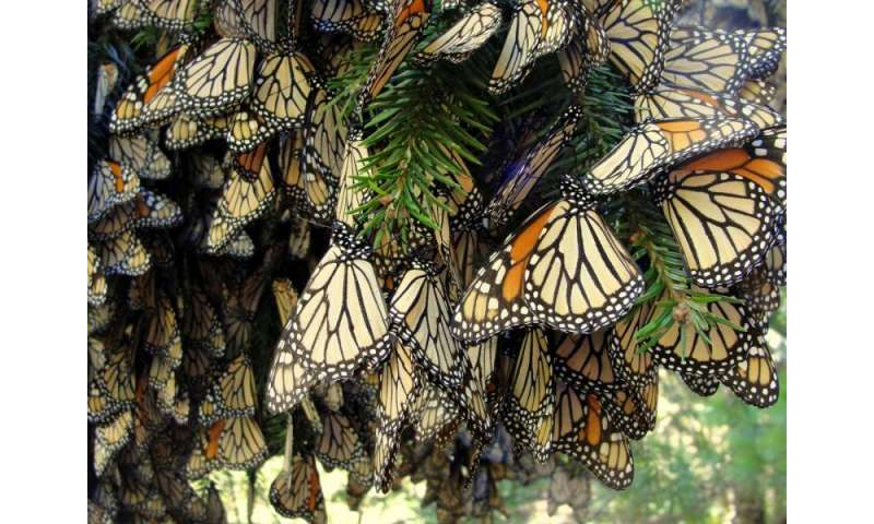 Wing structure helps female monarch butterflies outperform males in flight
