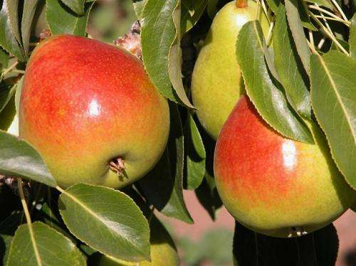 Researchers develop new high-yield pear cultivar