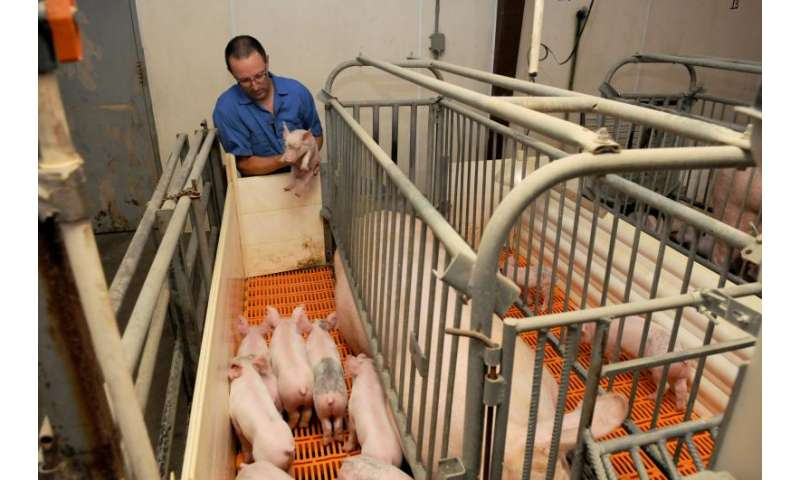 Researchers studying ways to combat deadly swine virus