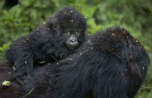 Rwanda names 24 baby mountain gorillas in annual tradition