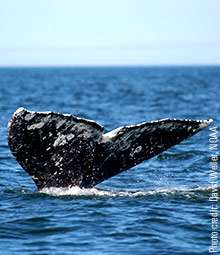 Climate change may draw gray whale back to Atlantic