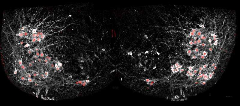 Scientists see motor neurons 'walking' in real time