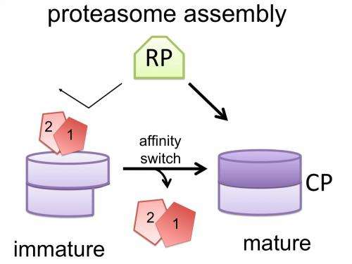Researchers find 'affinity switch' for proteasome assembly process in cells