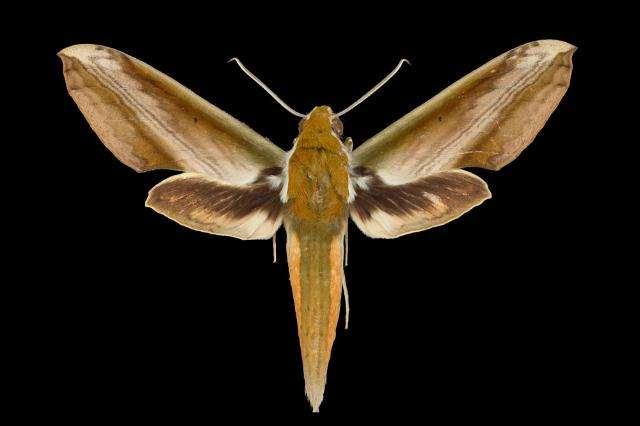 Study reveals evolutionary history of hawkmoths' sonar jamming defense