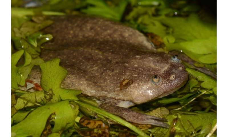 Researchers discover six new African frog species, uncover far more diversity