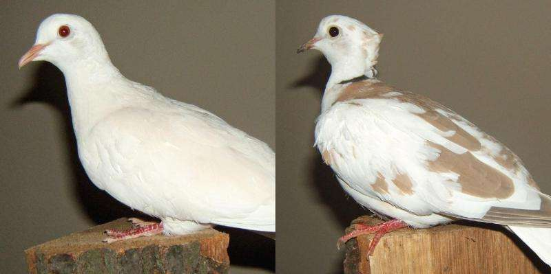 Birds of a feather: Pigeon head crest findings extend to domesticated doves