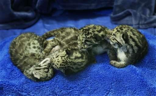 Bottle-fed baby leopards make debut at Washington zoo