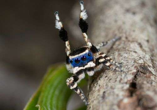 Clapping and sidestepping key to spider mating dance