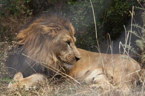 Conservationists estimate there are, at most, 1,000 lions left in the wild in Ethiopia, Africa's second most populous nation