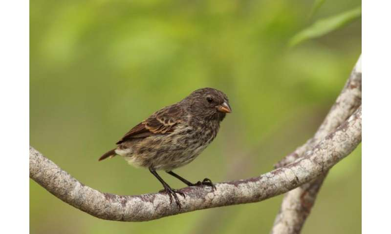 Darwin's finches have reached their limits on the Galápagos