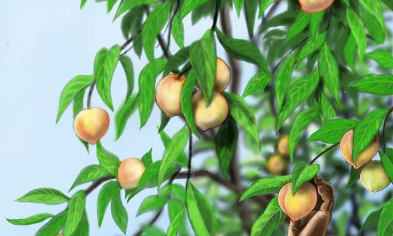 Eat a Paleo peach: First fossil peaches discovered in southwest China