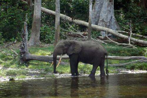 File photo shows an African elephant in the Waly Bai area of the Nouabale Ndoki National Park, Republic of Congo, on May 22, 201