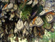 For monarch butterflies, loss of migration means more disease