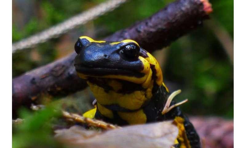 Fossils reveal ancient secrets of salamander ancestors' limb regrowth